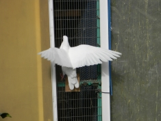 Aris breeds birds, including white doves